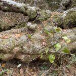 Randy Swing maple tree